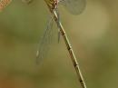 L.viridis_f