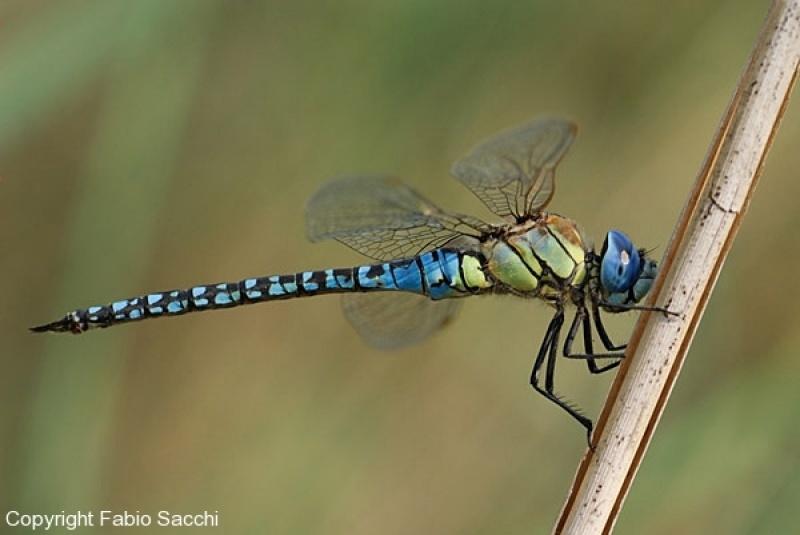 Aeshna-affinis_male