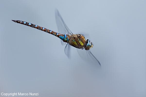 Aeshna-mixta--(male)-in-volo.jpg-600-x-400