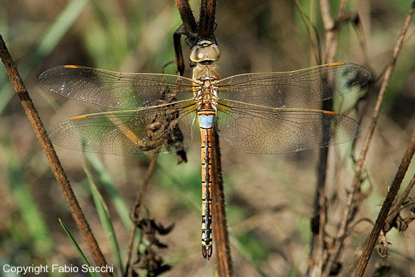 Anax_ephippiger_male