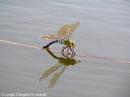 Anax imperato femmina in ovodeposizione. Sciara (PA). 24 Giugno 2006