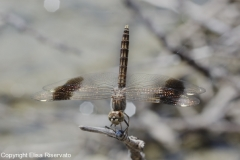 Brachythemis impartita