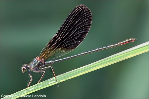 Calopteryx_haemorrhoidalis_Mlabriola