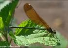 Calopteryx_haemorrhoidalis_F_Odonata.it_5608