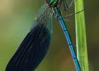 libellula14-desantis