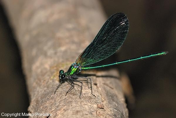 Calopteryx_virgo_meridionalis
