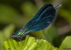 Calopteryx virgo M