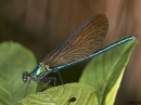 Calopteryx virgo F