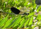 Calopteryx xanthostoma DSCN8330