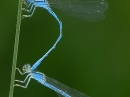 Coenagrion caerulescens