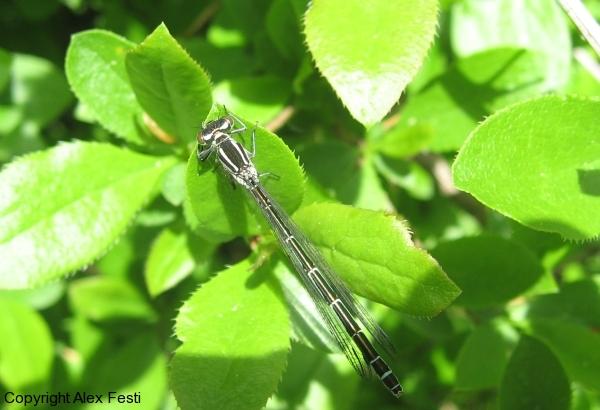 C.hastulatum burgum (A.Festi)
