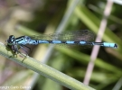coenagrion hastulatum06