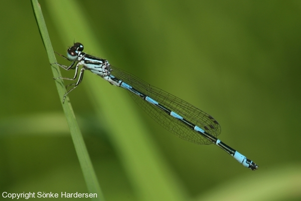 Coenagrion mercuriale