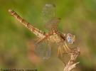 Crocothemis erythraea femmina