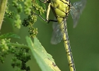 Gomphus_flavipes__female_2