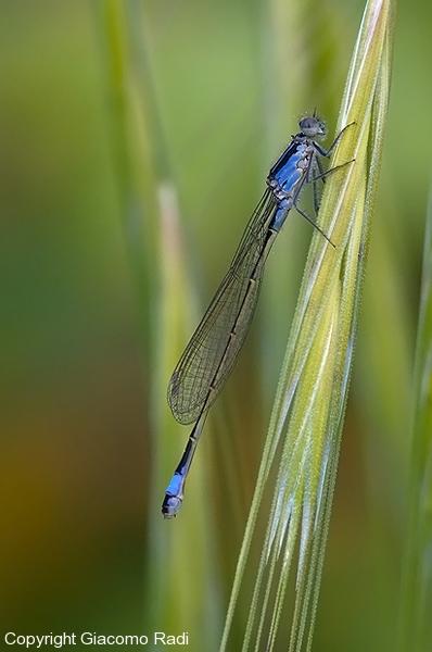 Ischnura-elegans-ODONATA