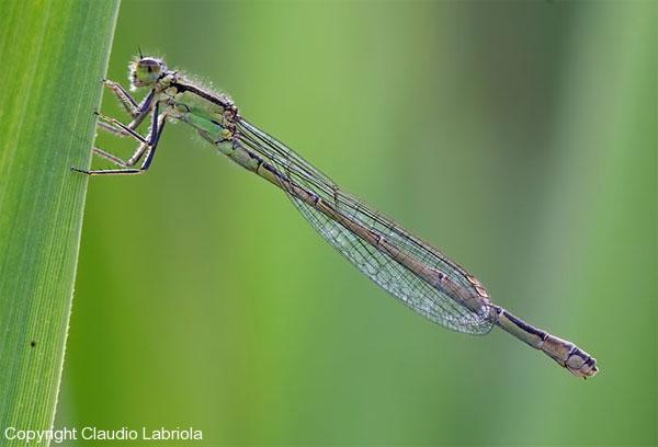 Ischnura elegans ♀