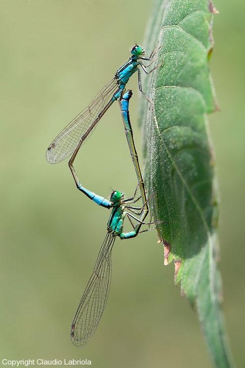 Ischnura_elegans_matingA_0306