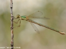 Lestes-barbarus-female