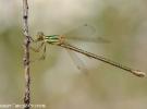 Lestes-barbarus-female