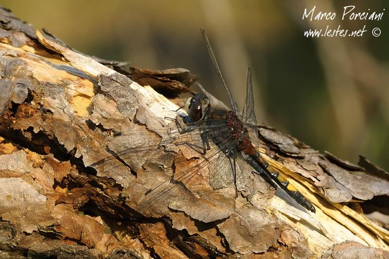 L. pectoralis