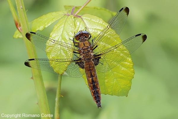 4u-libellula