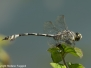 Lindenia tetraphylla