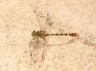 Onychogomphus forcipatus unguiculatus. Gole del Tiberio - Madonie (PA). 8 Giugno 2008