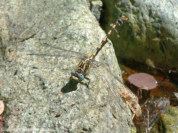 Onychogomphus-uncatus_RS