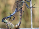 Orthetrum_cancellatum_mating_0403