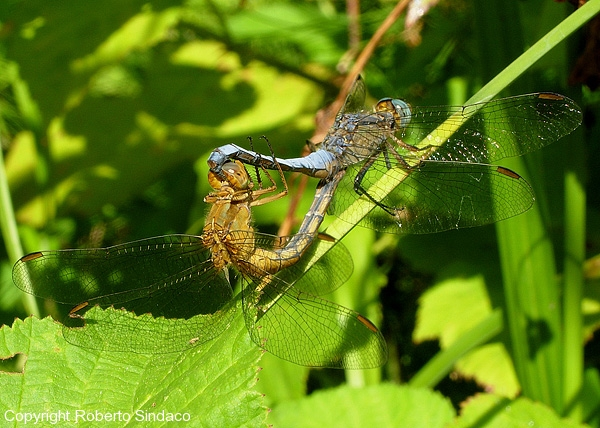 Orthetrum-coerulescens_RS