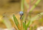 Orthetrum nitiderve ♂