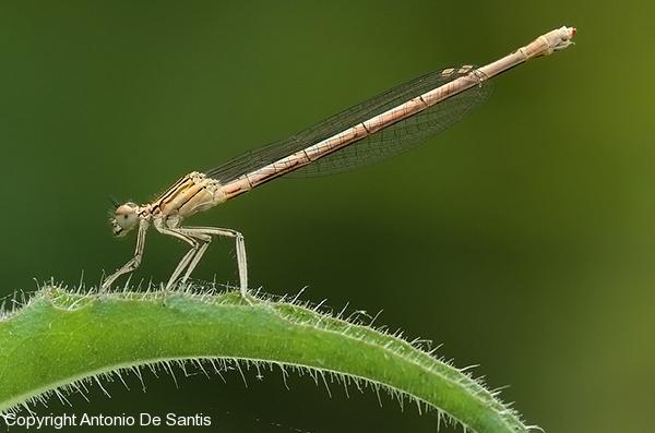 libellula7-desantis