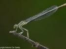 libellula2-desantis