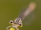 libellula3-desantis