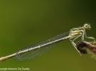 libellula6-desantis