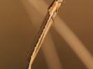 Sympecma paedisca - baraggia sud_01_1