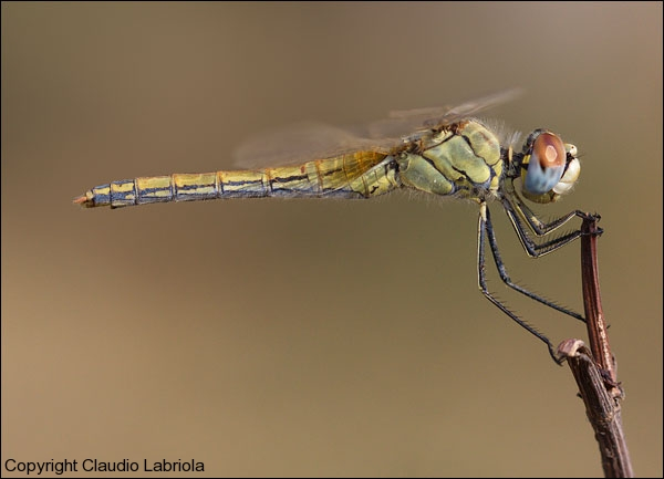 Sympetrum_fonscolombii_F_0419