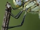 libellula10-desantis