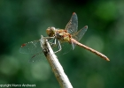 libellule_036-bosco