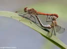 Sympetrum-striolatum-(male---female).jpg-600-x-400