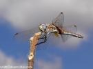 Trithemys annulata maschio immaturo. Sciara (PA). 9 Luglio 2006.